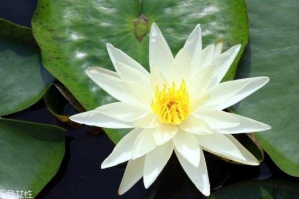 睡莲是一种什么样的植物呢 睡莲的作用有什么呢